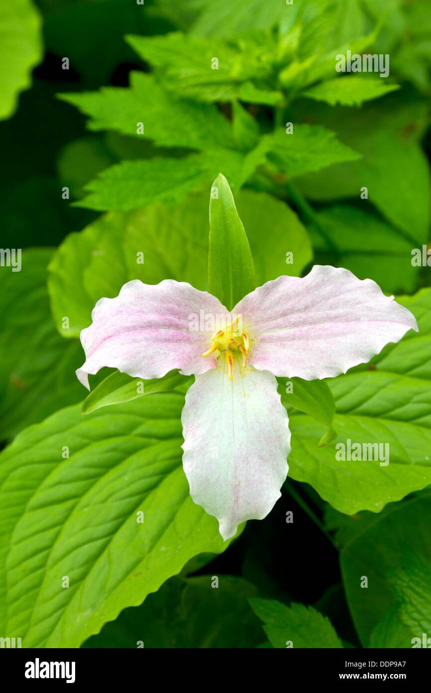 Large White Trillium Flowers In A Forest Near Shipshewana Indiana