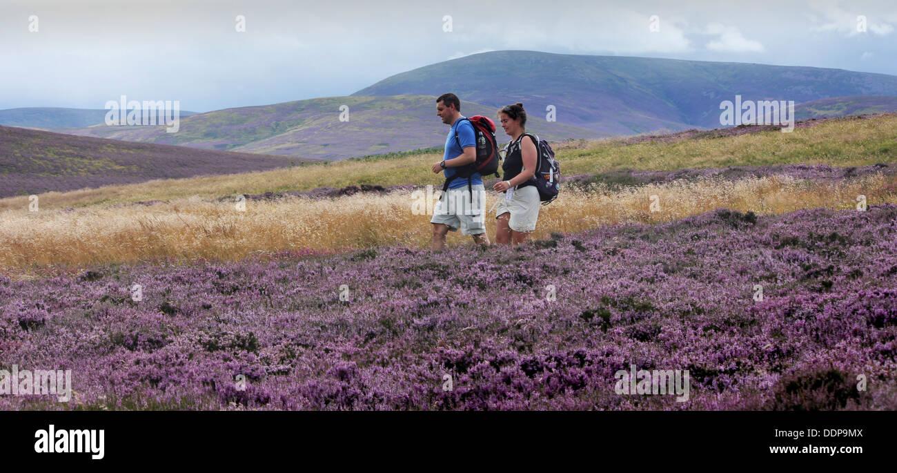 Hill Walkers, Purple heather Cheviot Hills, Northumberland - Stock Image