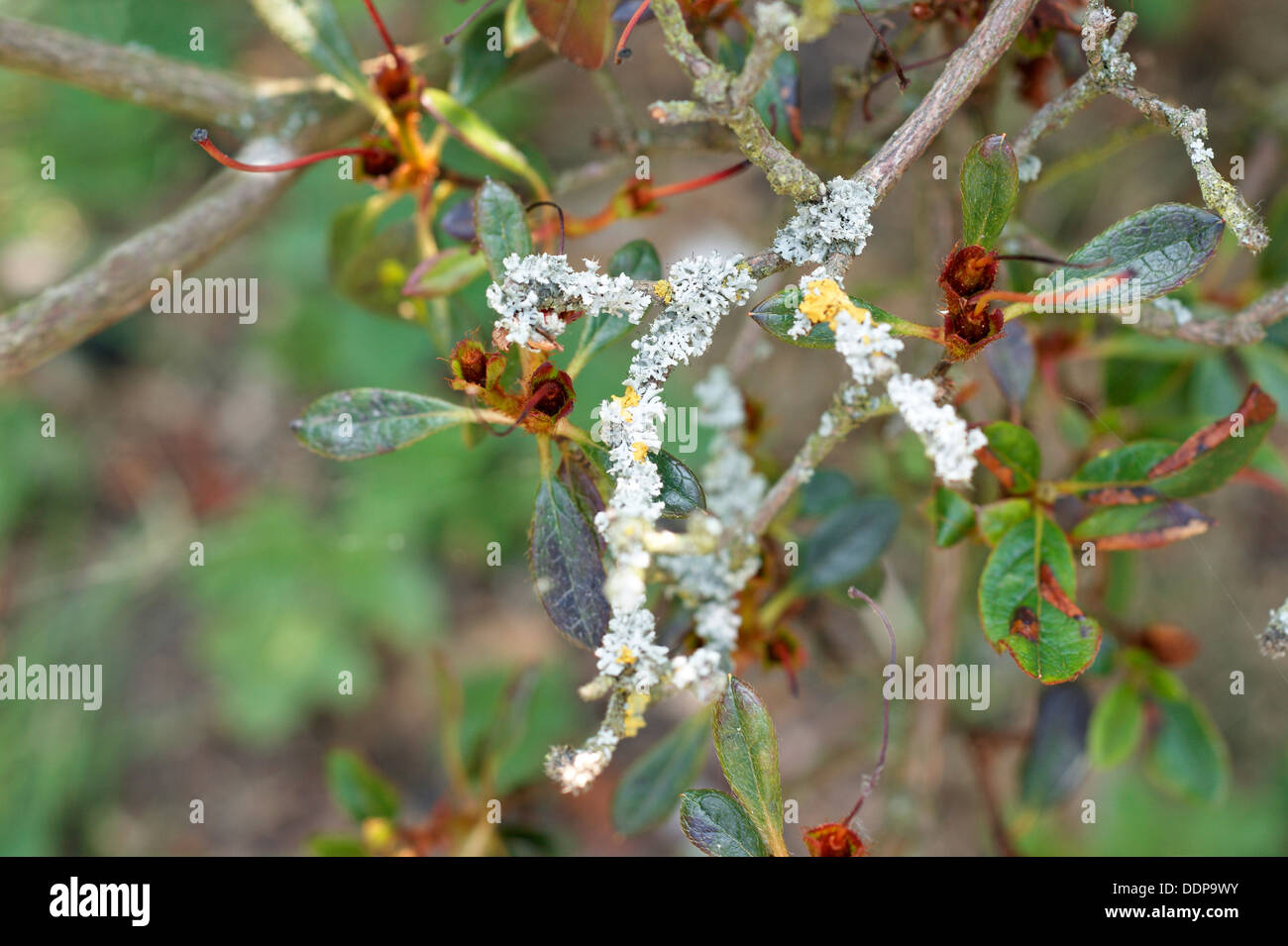 Azalea shrub with stems & leaves covered in fungus & disease - Stock Image