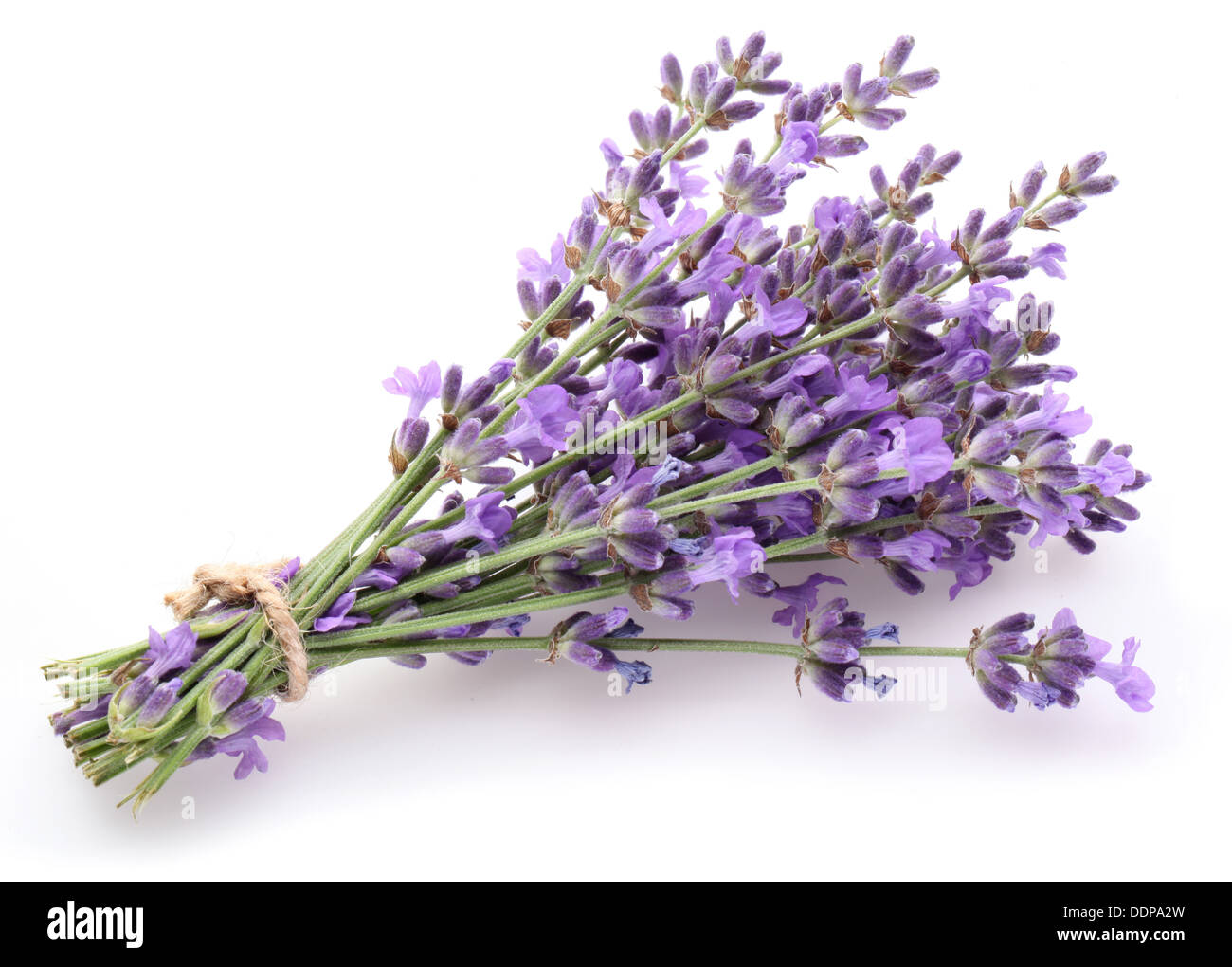 Bunch of lavender on a white background. - Stock Image