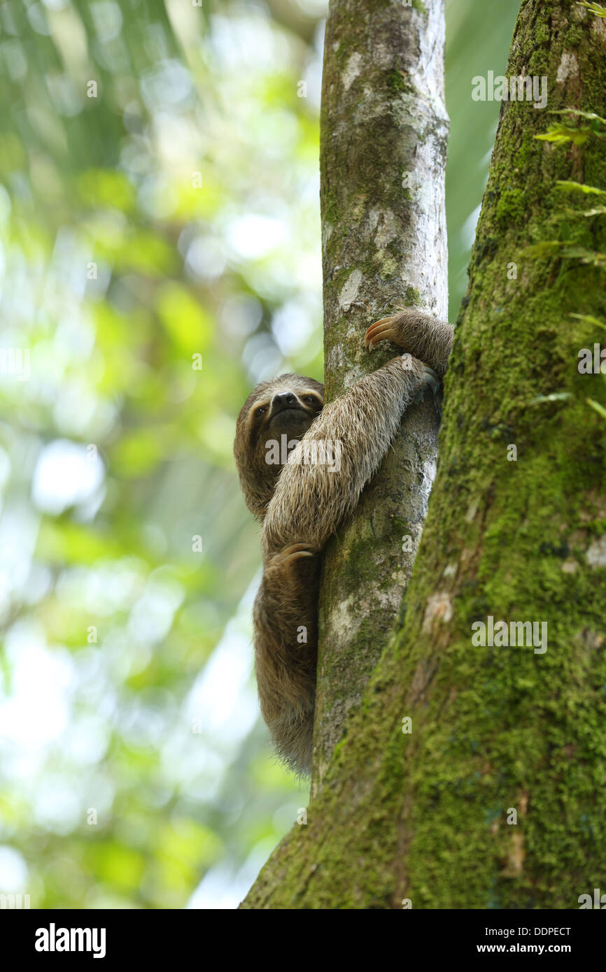 Three-toed sloth in tree, Costa Rica - Stock Image