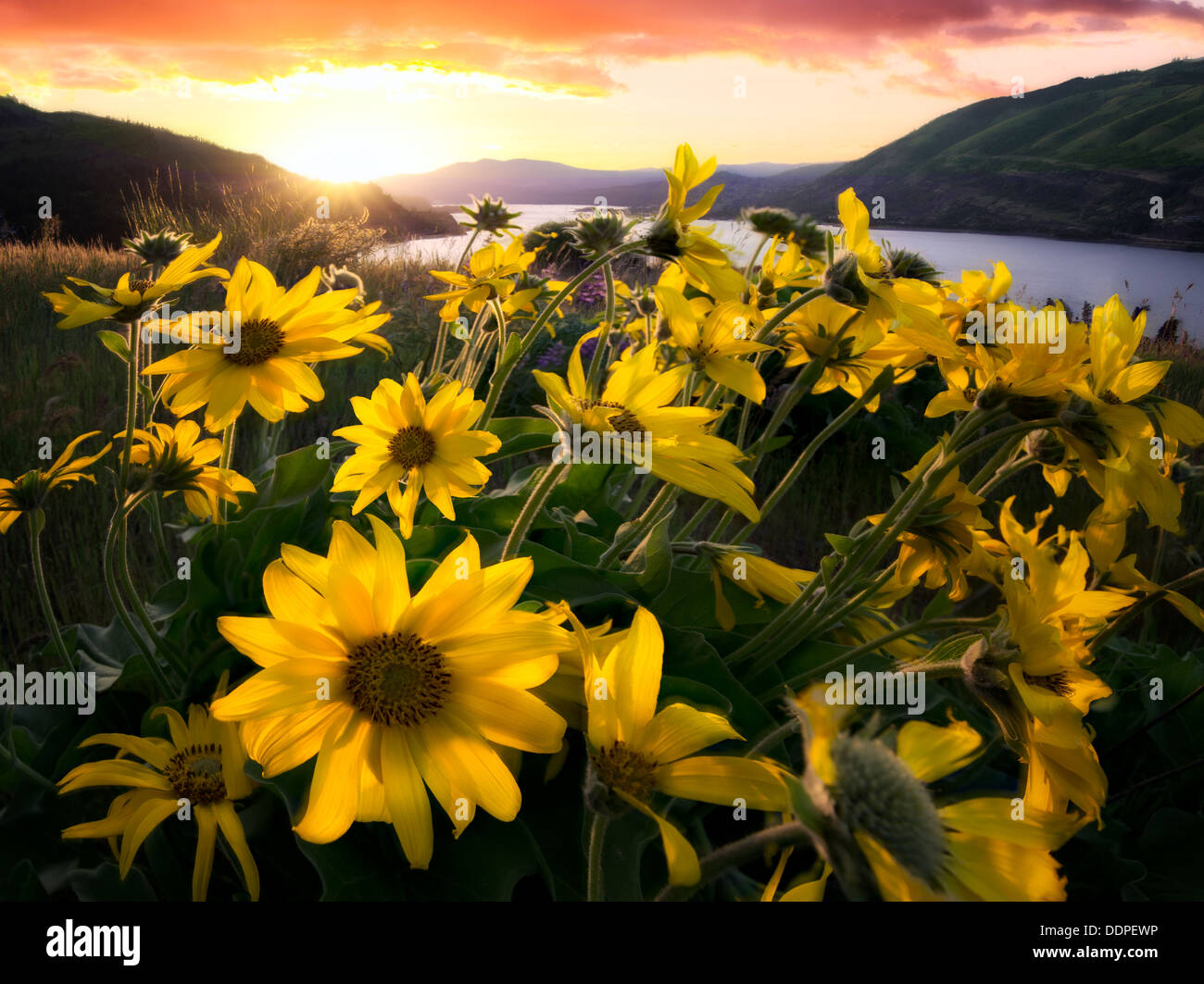 Balsamroot wildflowers and sunset. Columbia River Gorge National Scenic Area, Oregon - Stock Image