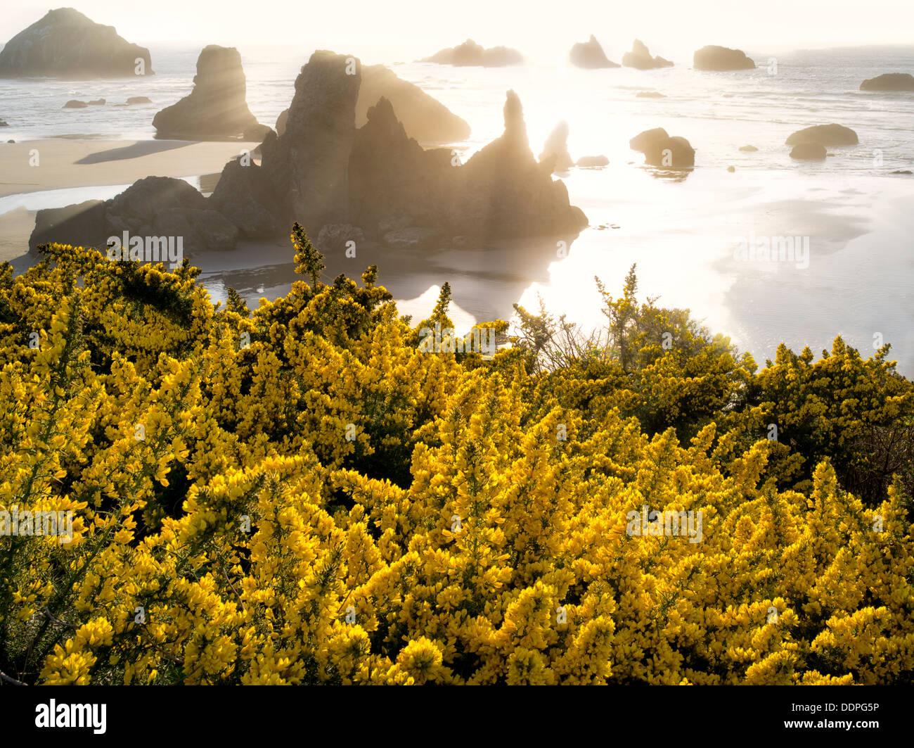 Gorse wildflowers and coastline at Bandon, Oregon. - Stock Image