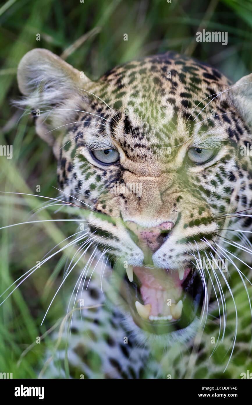 Snarling leopard:  detail of face in long grass, frontal view, Maasai Mara, Kenya - Stock Image
