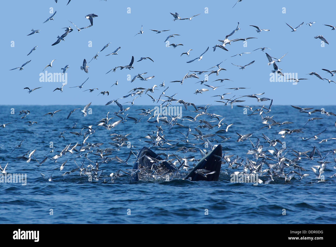 bryde and seagull interspecific interaction in nature - Stock Image