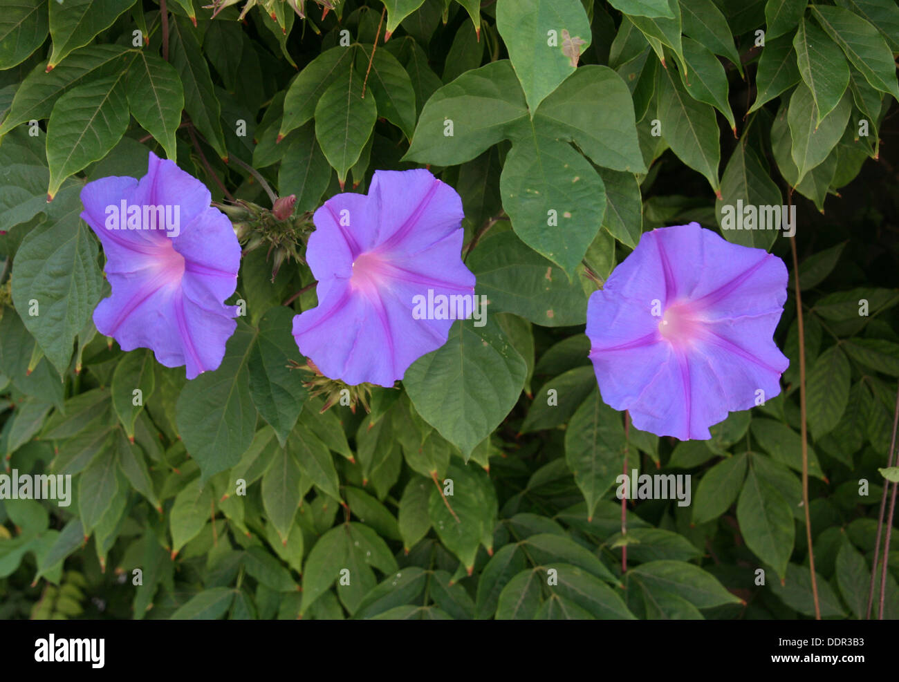 Morning Glory Triplets - Stock Image