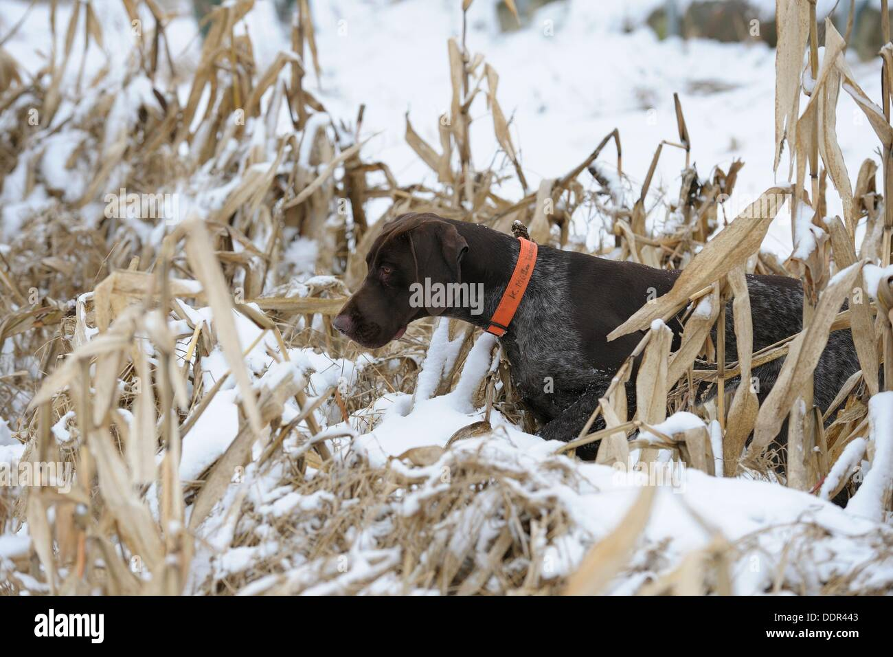 Hound (German shorthaired)in winter, Germany - Stock Image