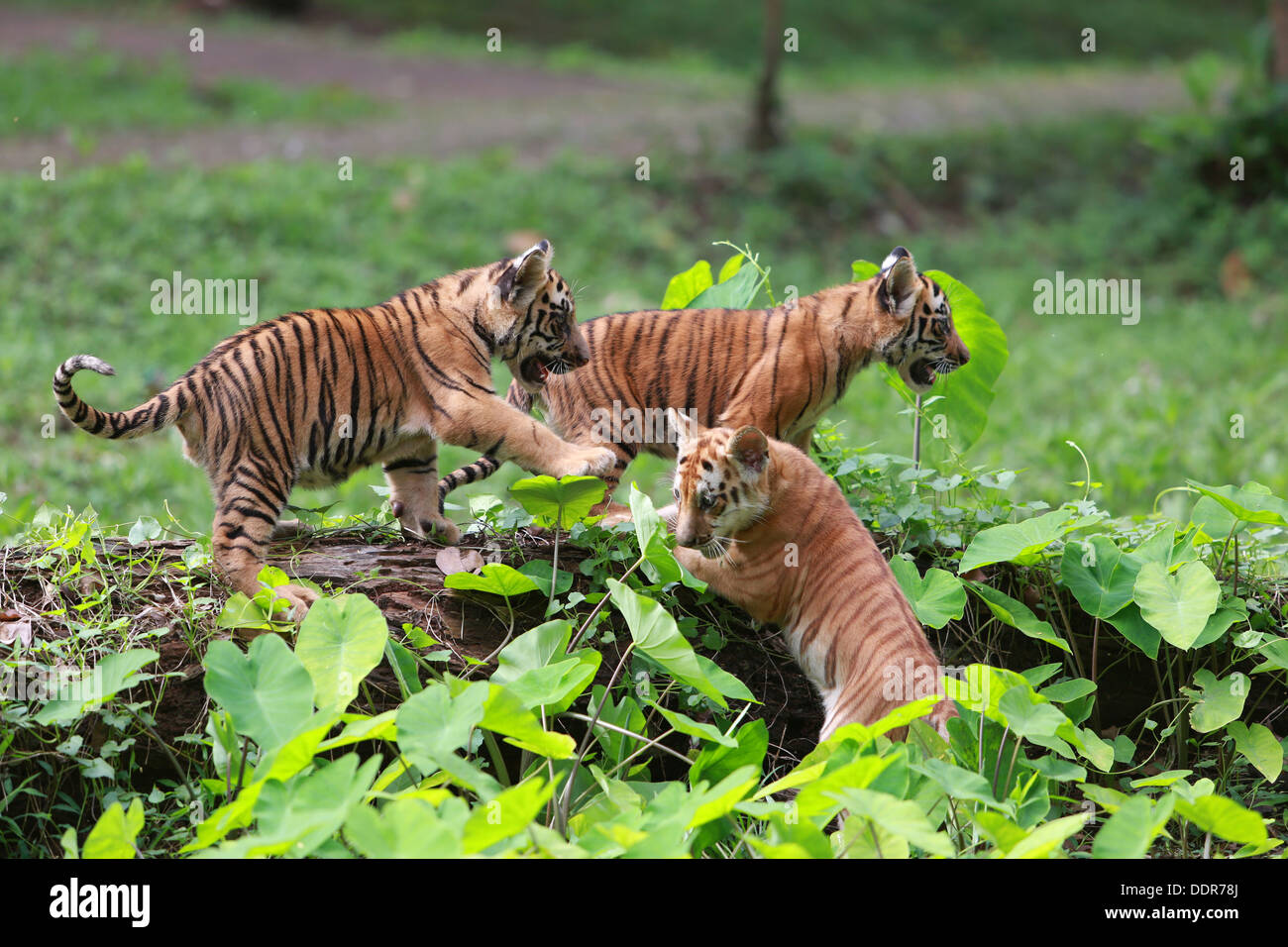 baby tigers stock photos baby tigers stock images alamy