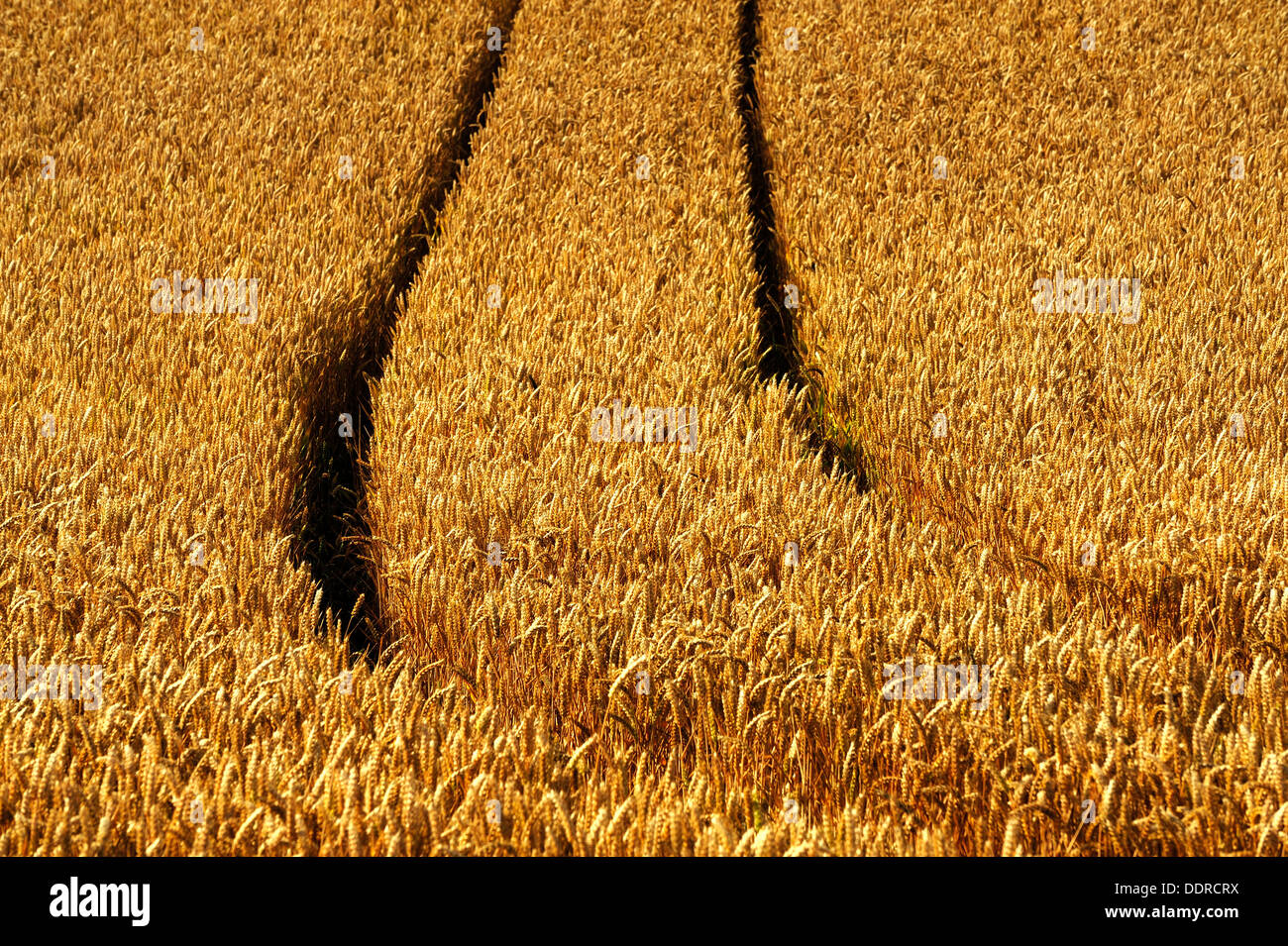 WHEATFIELD WHEAT FIELD WITH TRACTOR TRACKS - Stock Image