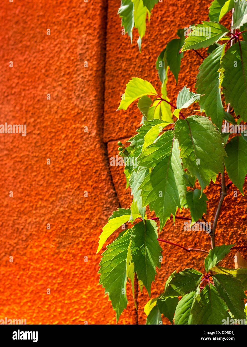 Transparent green leaves on an orange wall in the bright sun - Stock Image