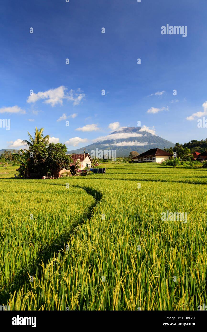 Indonesia, Bali, Rice Terraces and Gunung Agung Volcano - Stock Image