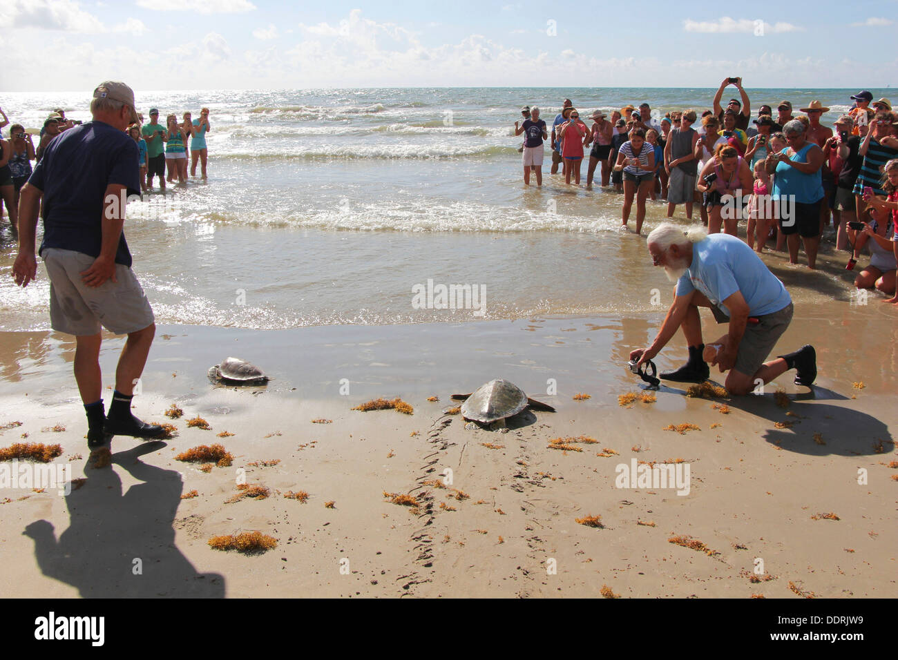 Members of the Animal Rehabilitation Keep escort endangered green sea turtles into the water as they are released off the coast - Stock Image