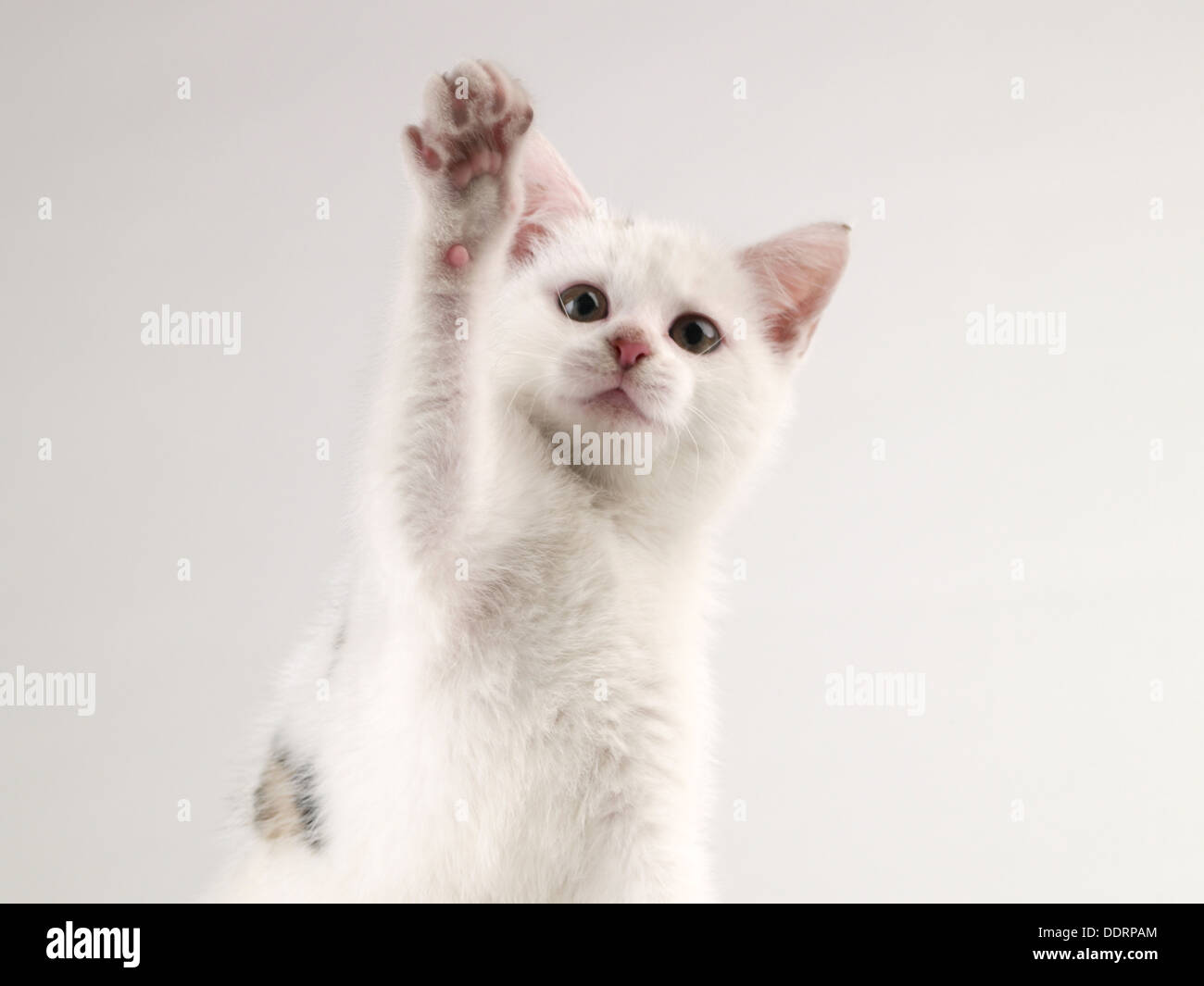 kitten playing on plain background after drinking milk cat - Stock Image