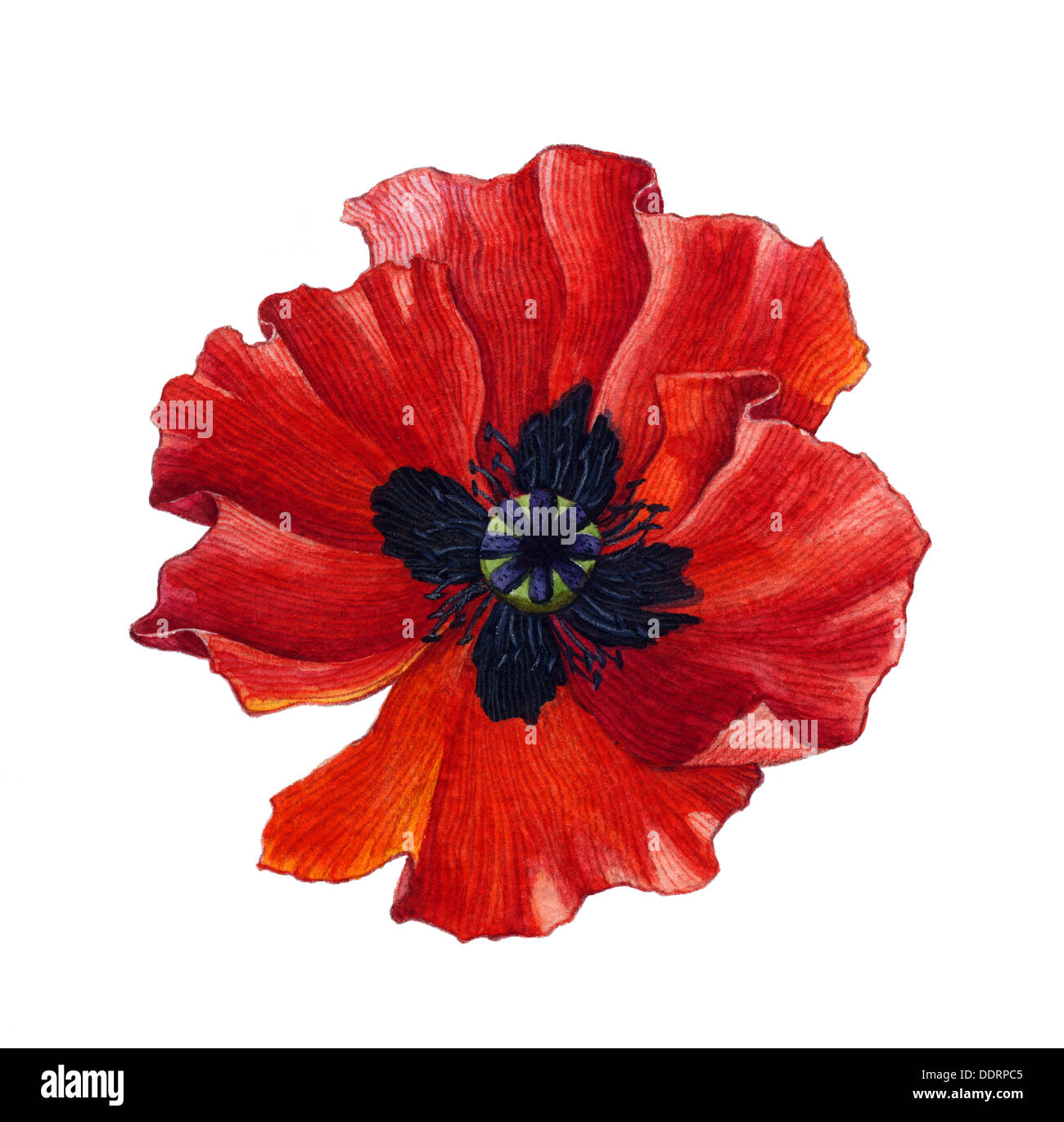Poppy flower watercolor stock photos poppy flower watercolor stock watercolor poppy stock image mightylinksfo