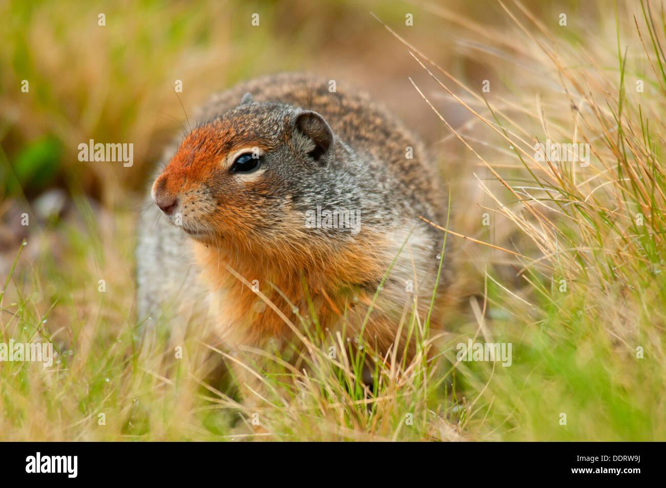 Columbian ground squirrel (Urocitellus columbianus), Banff National Park, Alberta, Canada Stock Photo