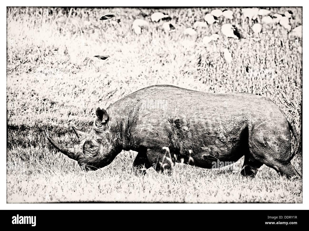 Single black rhino walking past pond, side view close up in stylised monochrome, Lake Nakuru, Kenya - Stock Image