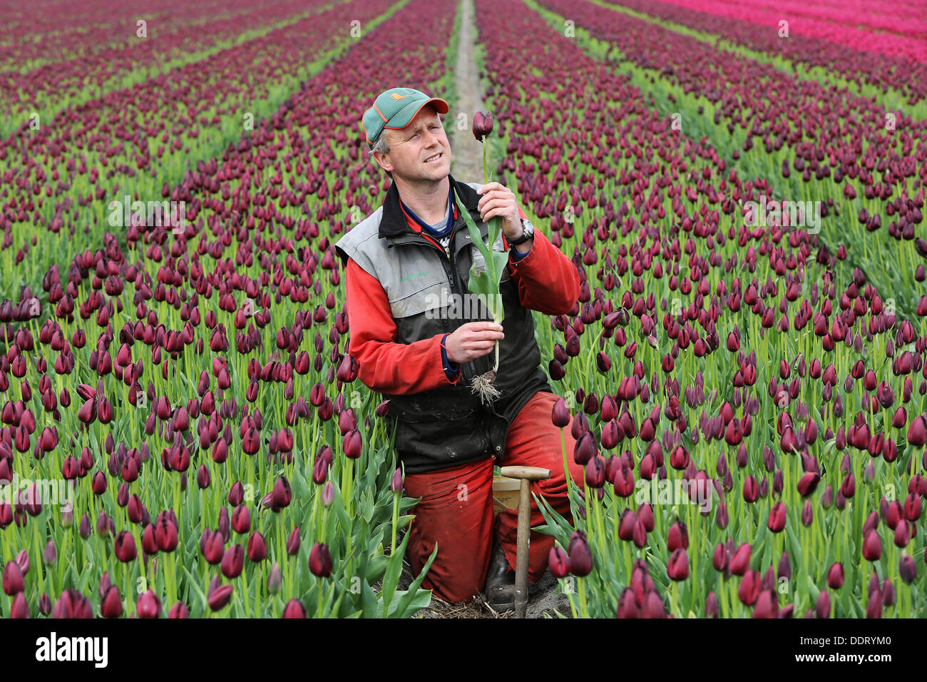 BREEZAND - Joost Pennings removes Tuesday the less beautiful tulips from his field with 'success flowers': the Vincent van Gogh. The patented and exclusive dark crispa color appears to be a huge hit at the visitors to the Van Gogh Museum in Amsterdam. The Van Gogh tulip is for sale at the museum as a bulb. J. S. Pennings-De Bilt from Breezand in the Northern part of the Netherlands is the only breeder in the Netherlands with breeding right of the Van Gogh tulip. To ensure the quality, the poor tulips are all selected out. The tulip bulbs are harvested in the summer. Foto: VidiPhoto dpa - NETHE - Stock Image