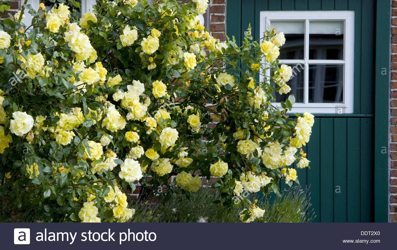 Shrubs of roses in front of a green wooden door  Island Spiekeroog  East Frisia  North Sea  Germany Stock Photo