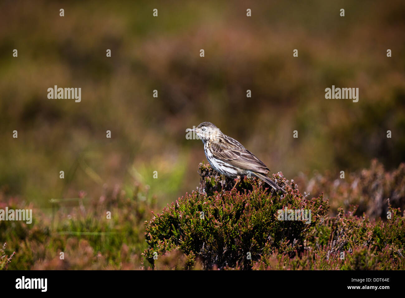 Meadow pipit perched on heather Stock Photo