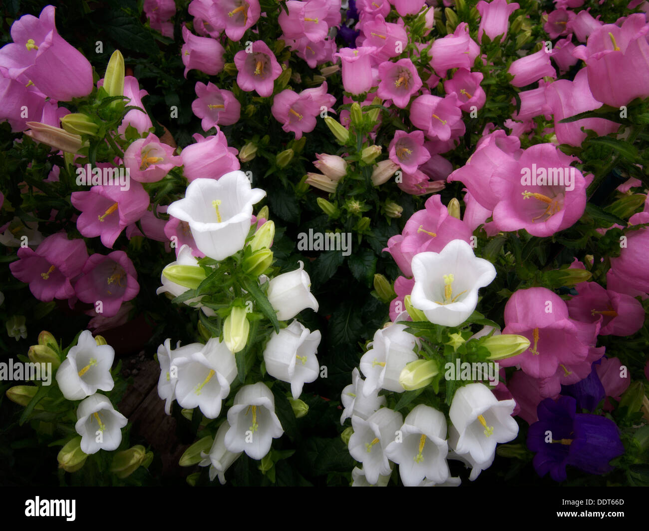 Terra Cotta Campanula Champion flowers. - Stock Image