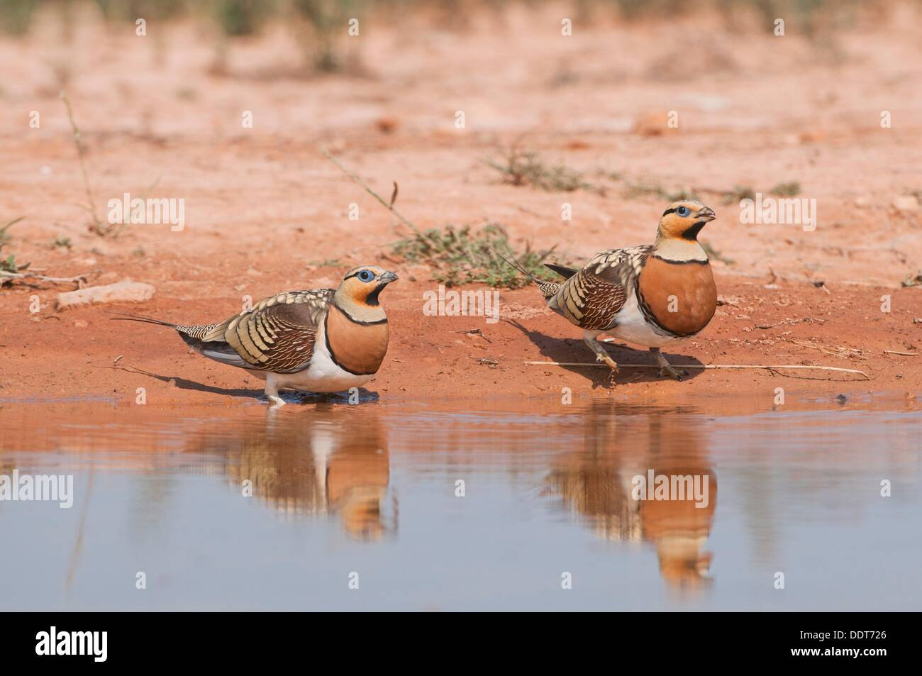 Sandgrouses pterocles alchata coming to drink from a waterhole in the Central Spanish steppes during the summer Stock Photo