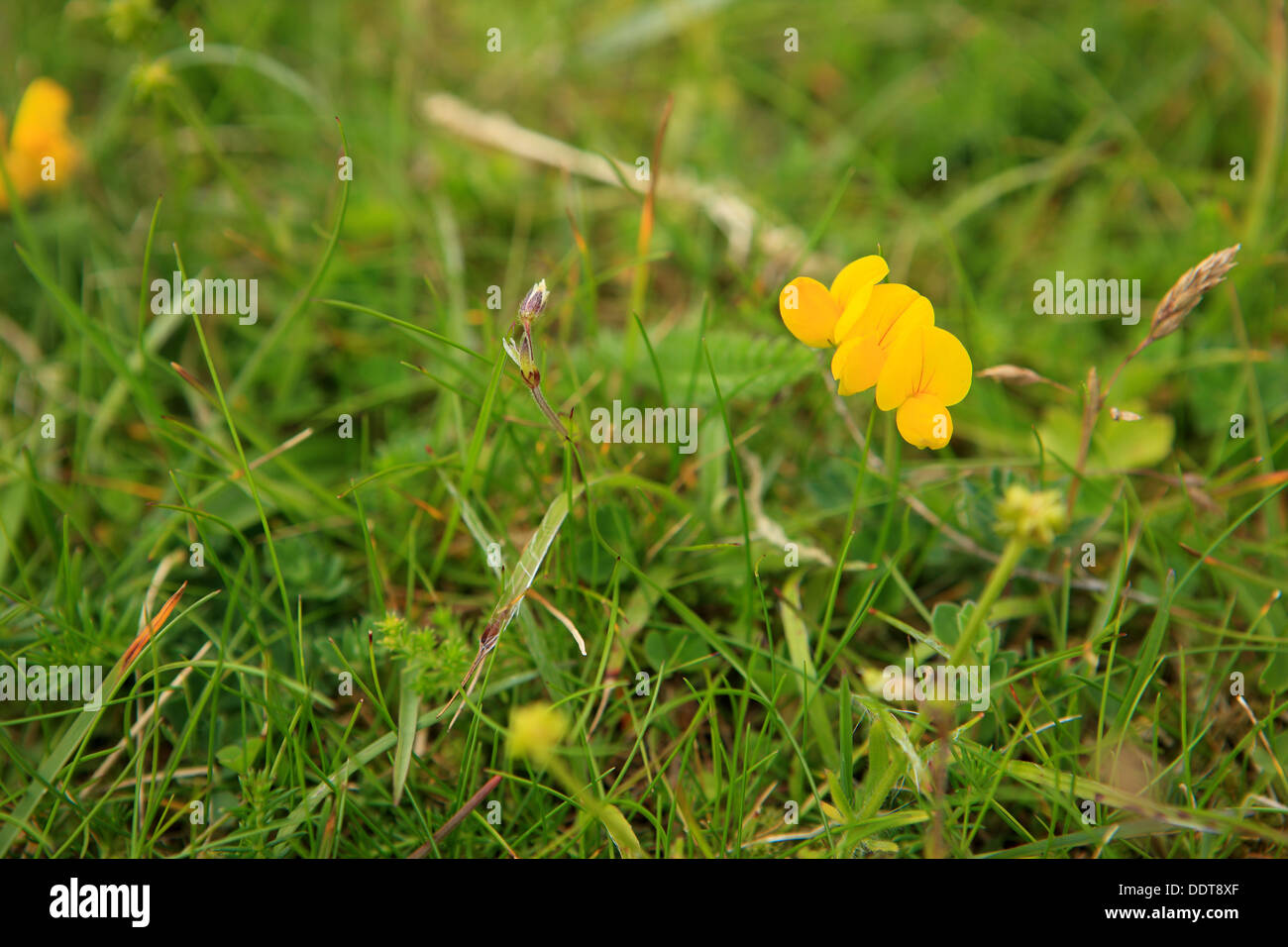 Wildflowers on the Isle of Iona in the Inner Hebrides of Scotland - Stock Image