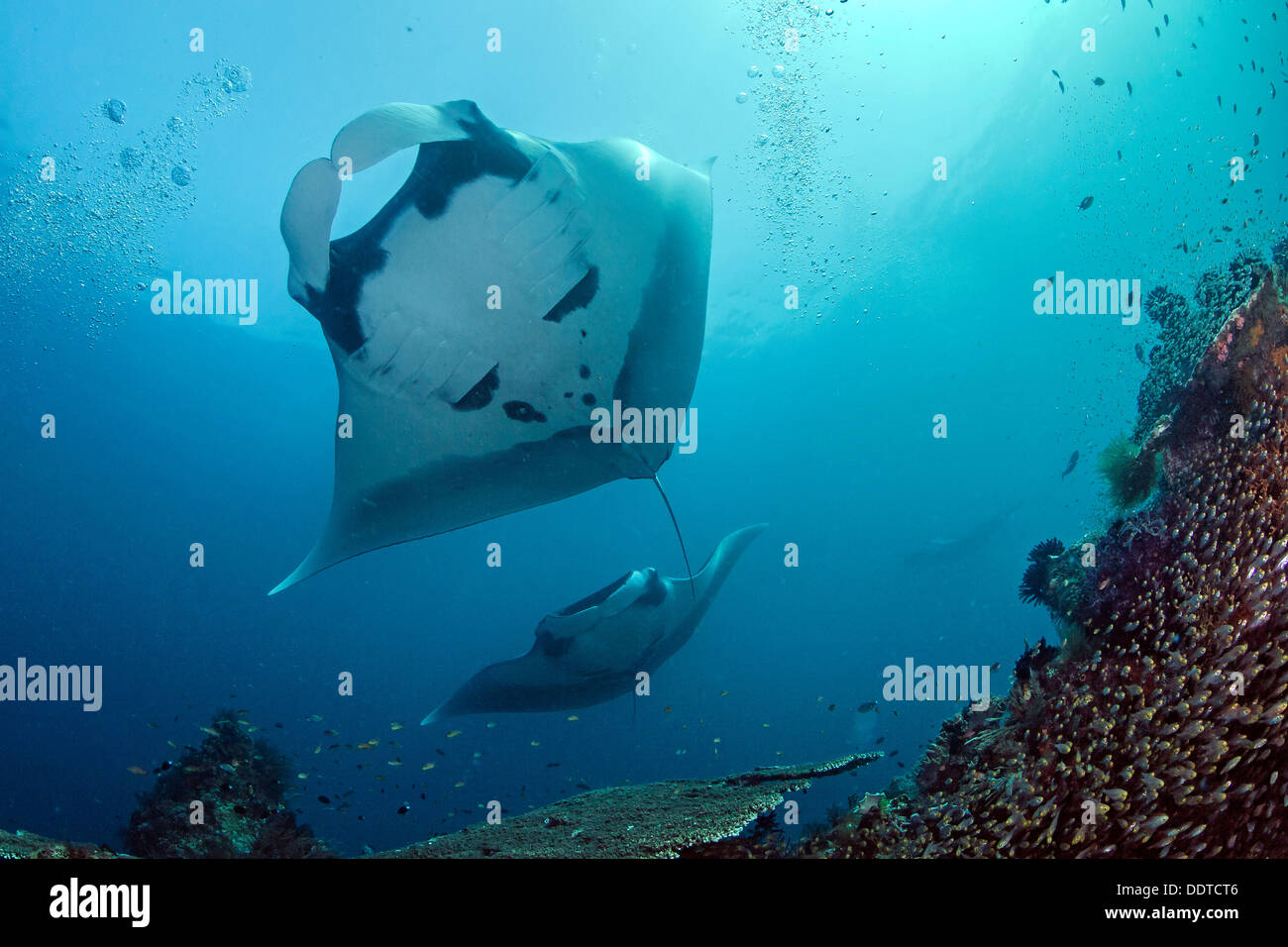 Manta ray overhead and another one approaching. Stock Photo