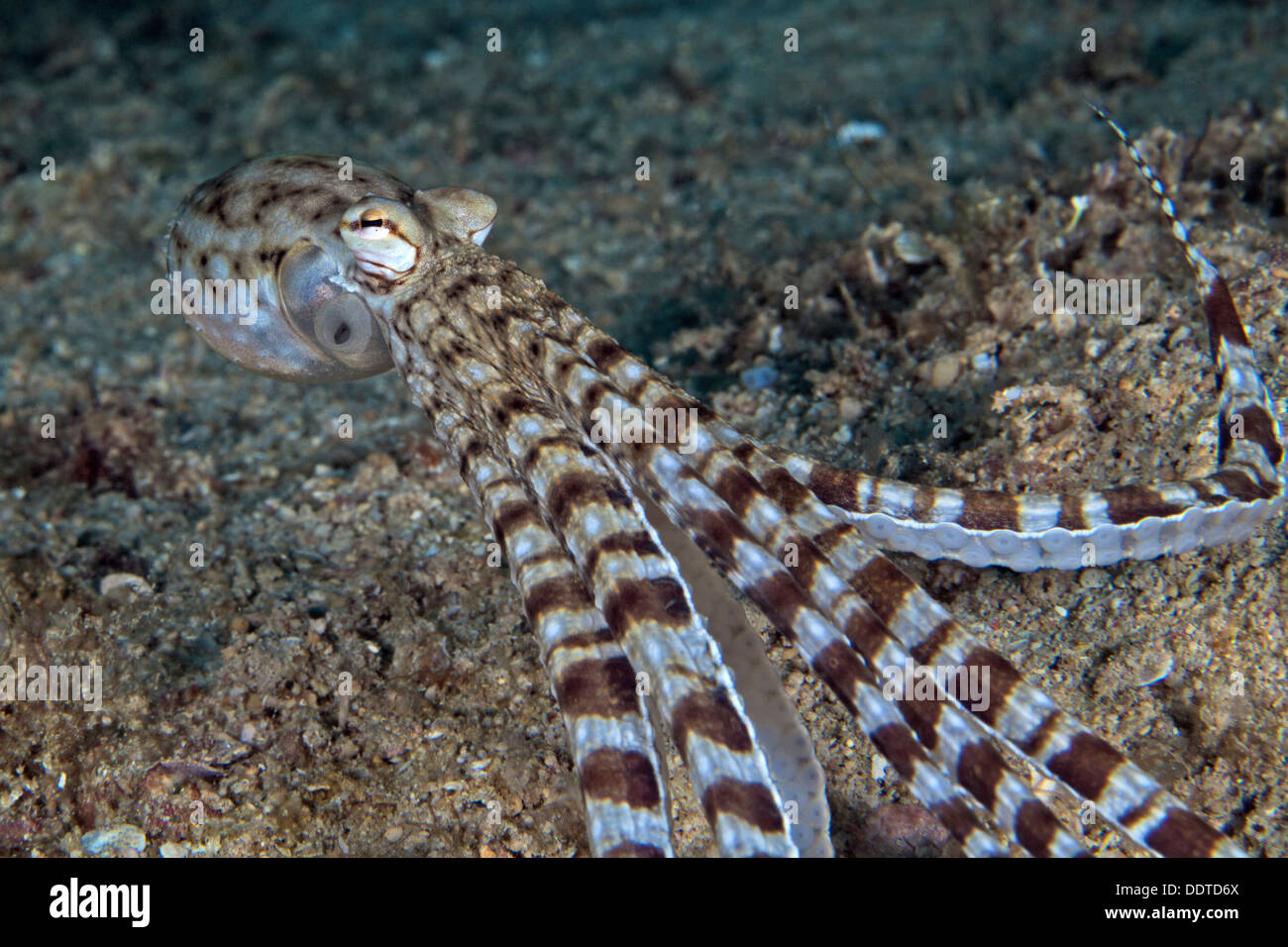Mimic octopus, Thaumoctopu mimicus escapes by jet propulsion. Puerto Galera, Philippines. - Stock Image