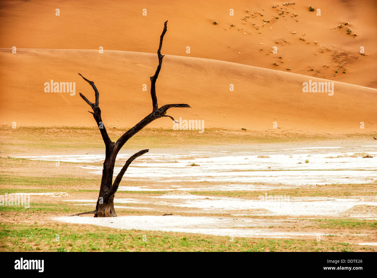 Dead Camelthorn Tree, Acacia erioloba, in the salt pan of Dead Vlei, Namib-Naukluft National Park, Sossusvlei, Namibia, Stock Photo