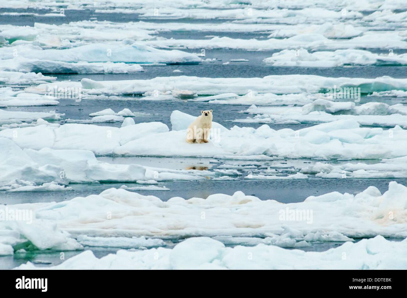 Solitary Polar Bear, Ursus Maritimus, sitting on melting ice, Olgastretet Pack Ice, Svalbard Archipelago, Norway Stock Photo