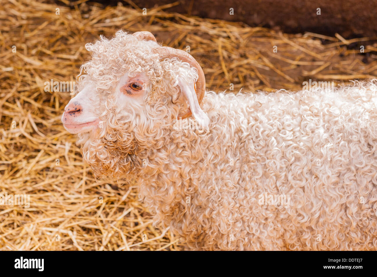 An Angora goat at Hazel Brow Farm in the village of Low Row in Swaledale , North Yorkshire, England, Britain, Uk - Stock Image