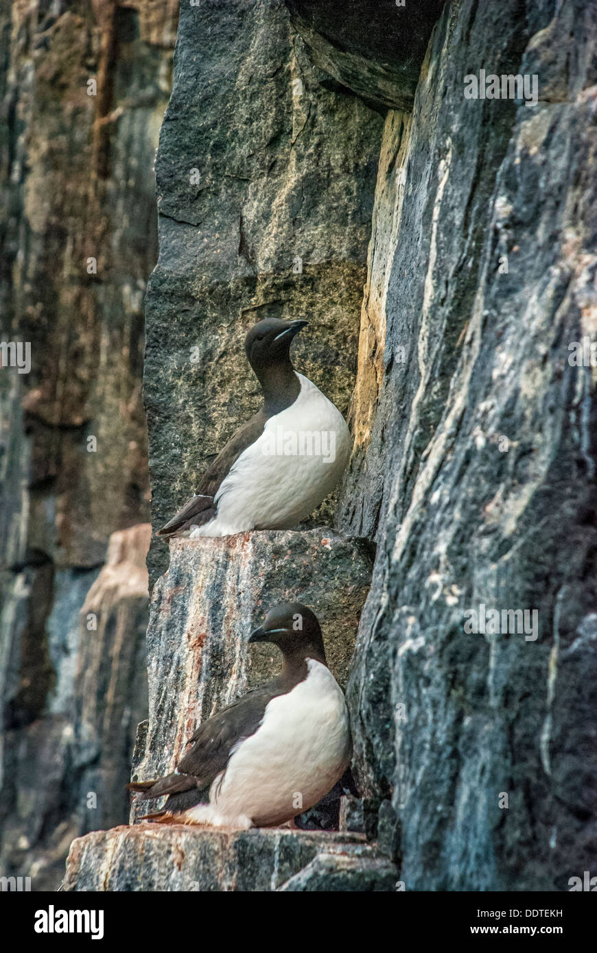 Thick-Billed Murres or Brunniche's Guillemots, Uria lomvia, Nesting Colony, Alkefjellet, Cape Fanshaw, Hinlopen Stock Photo