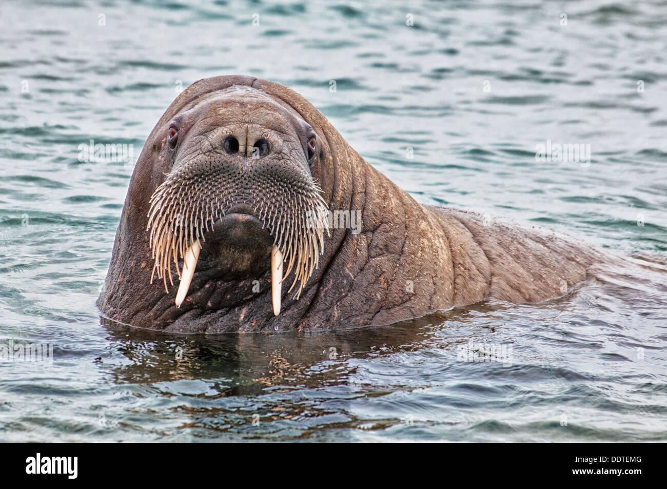 Close Up of a Walrus, Odobenus rosmarus, in the water, Torelineset, Svalbard Archipelago, Arctic Norway Stock Photo