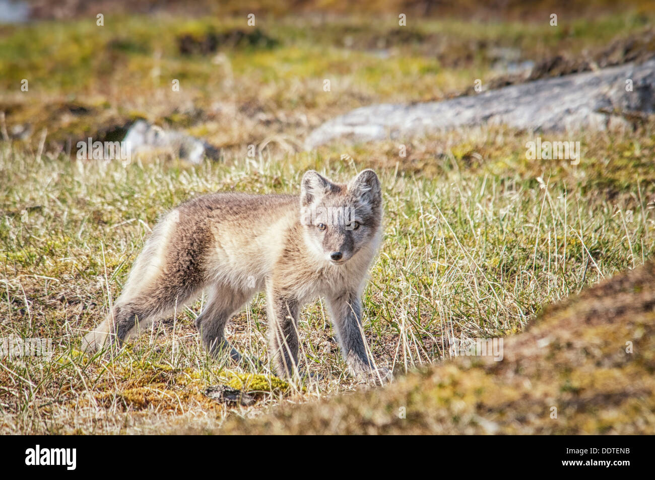 One Arctic Fox Pup, Vulpes lagopus. in summer pelage, standing in the tundra, Alkehornet, Spitsbergen, Svalbard, - Stock Image