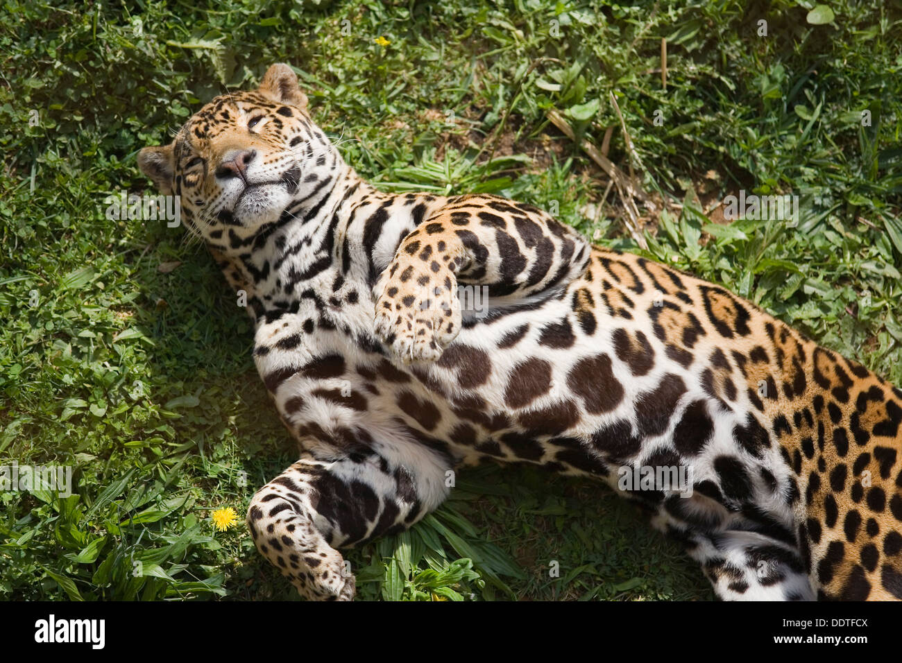 jaguar (Panthera onca). - Stock Image