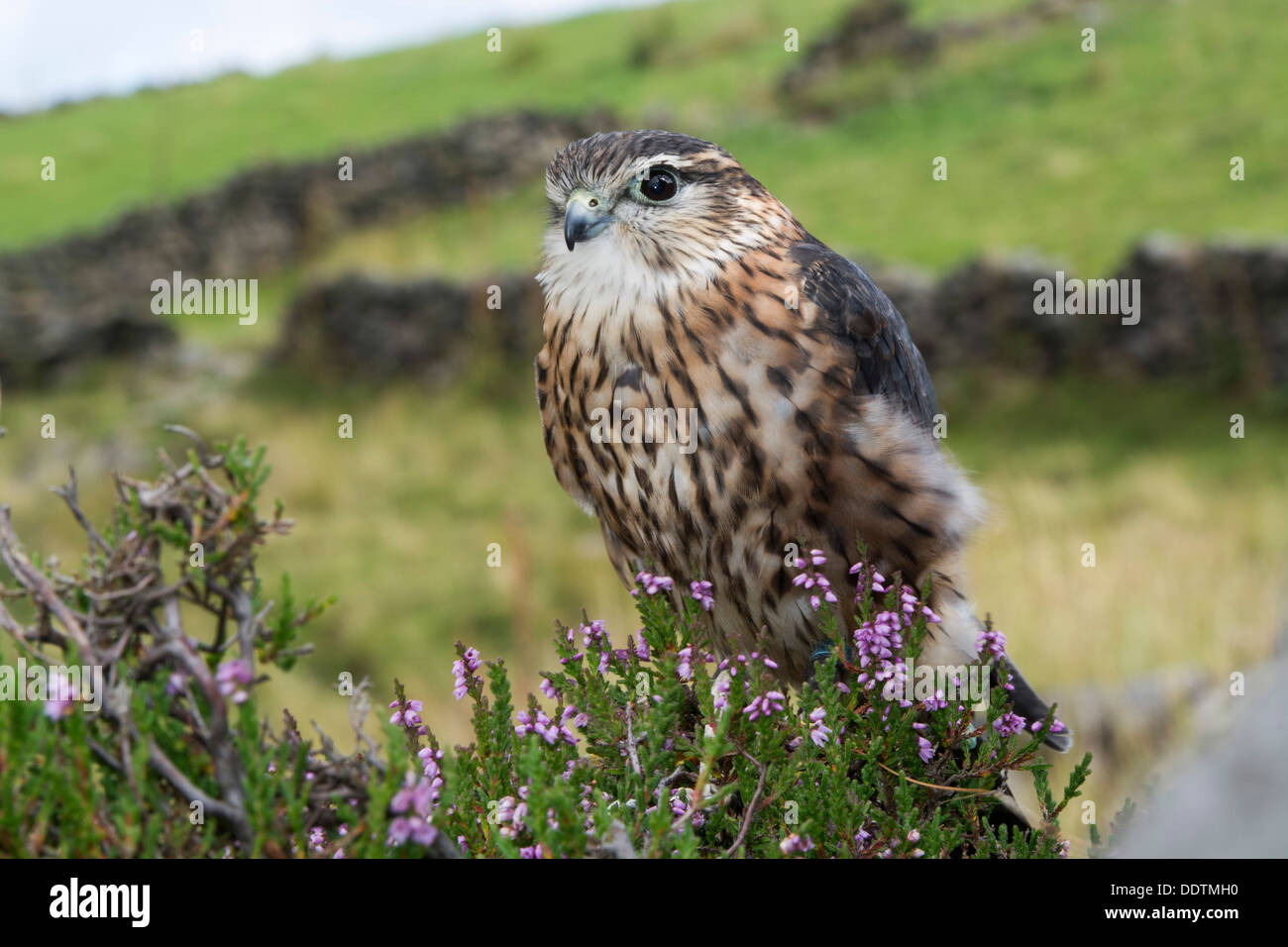Male Merlin, Falco columbarius, on heather moorland, Yorkshire, UK. Captive bird. - Stock Image