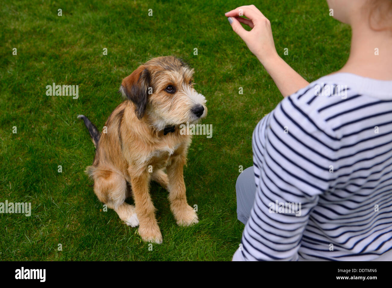 Sheepish young puppy being trained by young woman to sit on lawn grass - Stock Image