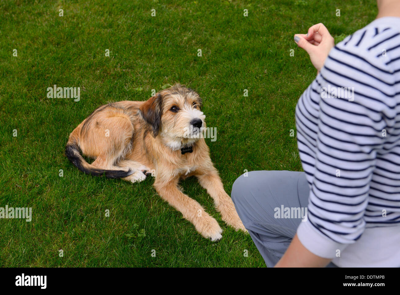 Young puppy being trained by woman to lie down on lawn grass - Stock Image