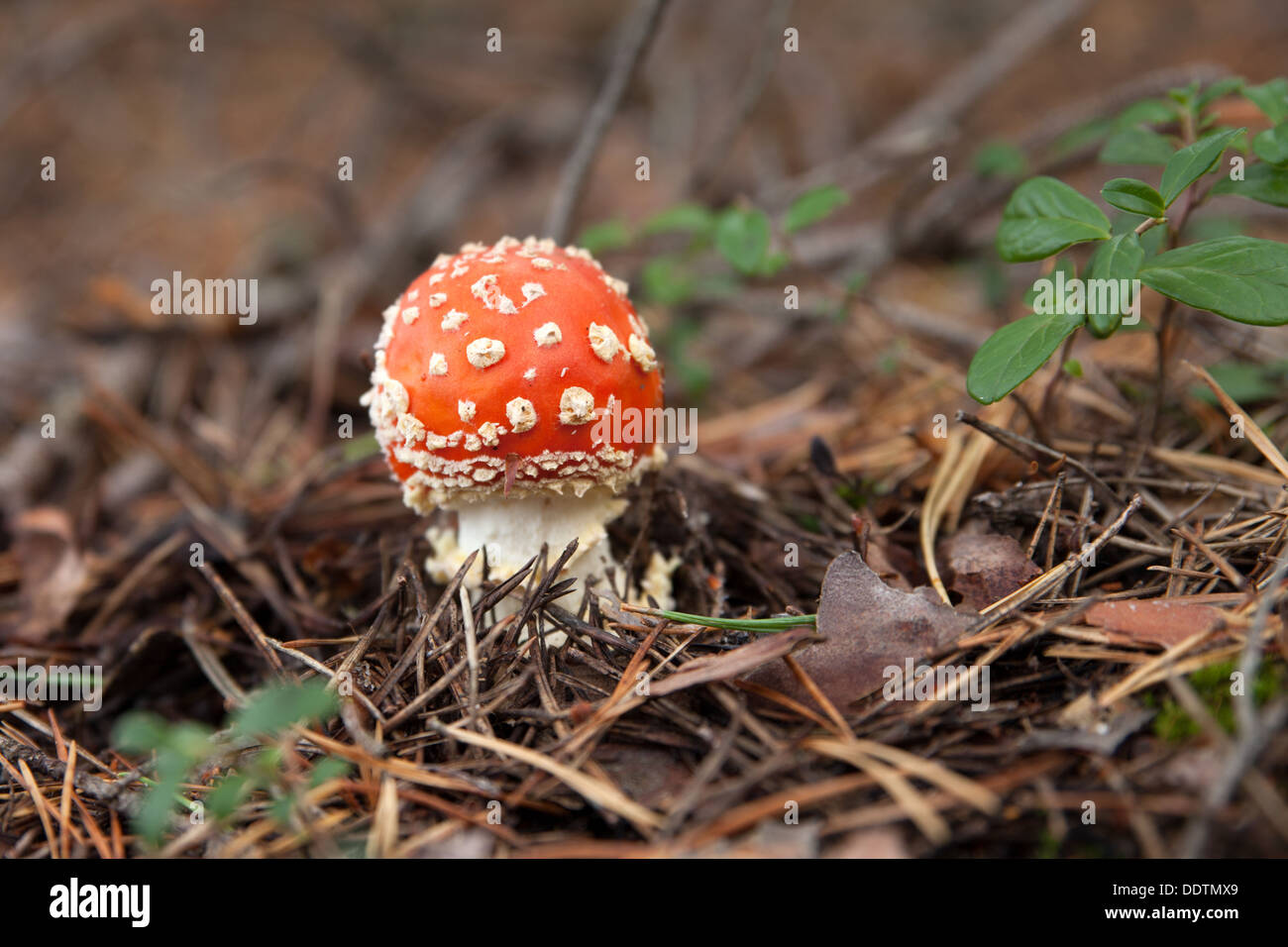 Small red toadstool rising from the groung - Stock Image