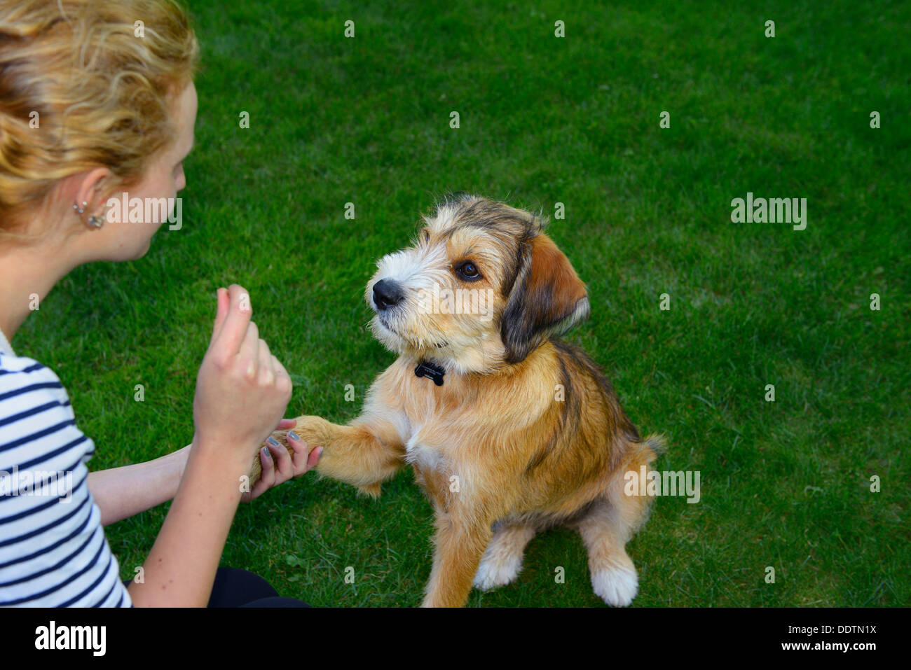 Young puppy being trained by young girl to shake a paw sitting on lawn grass - Stock Image