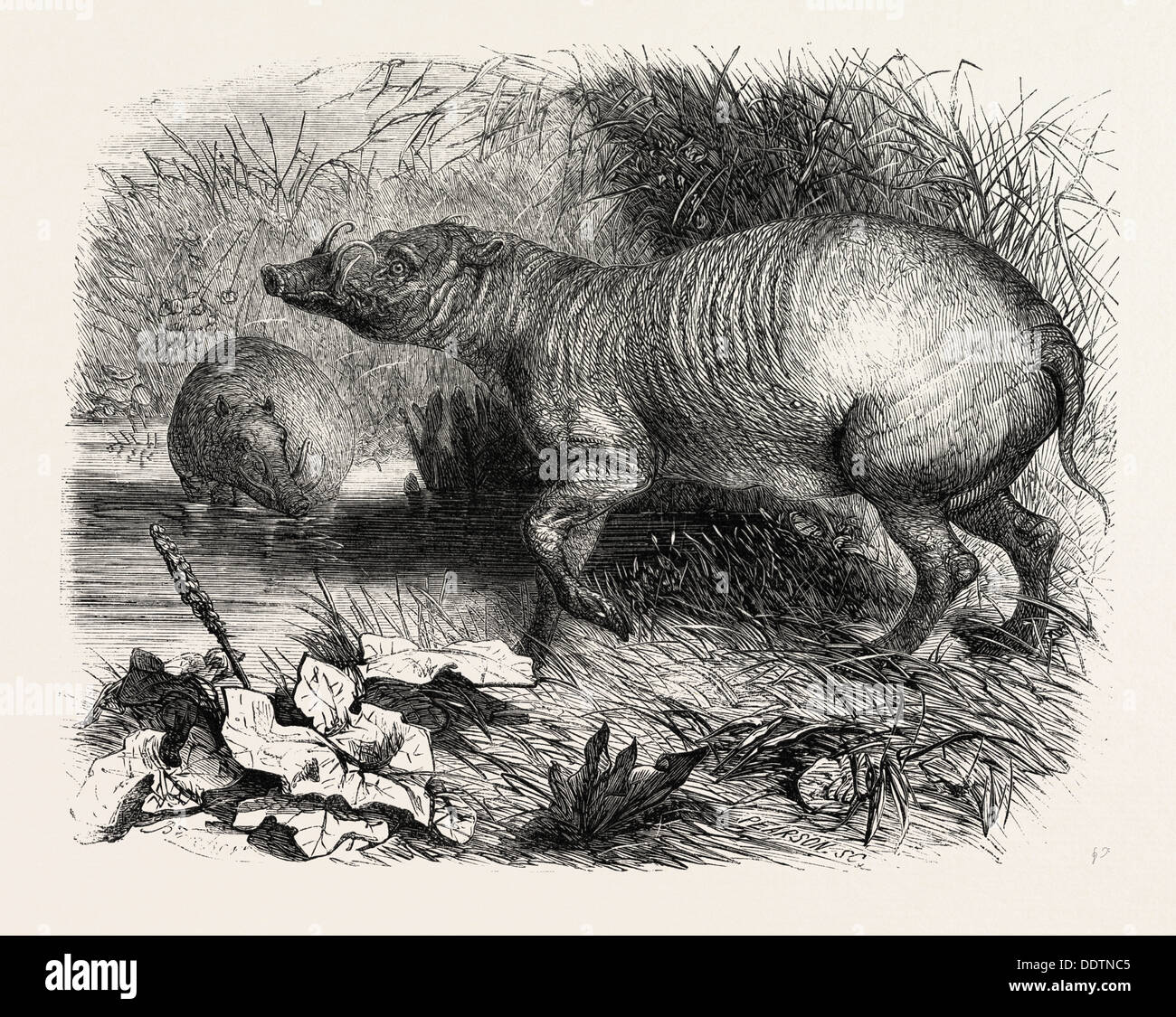 THE BABIRUSSA, RECENTLY ADDED TO THE ZOOLOGICAL SOCIETY'S GARDENS, REGENT'S PARK, LONDON, UK, 1860 engraving - Stock Image