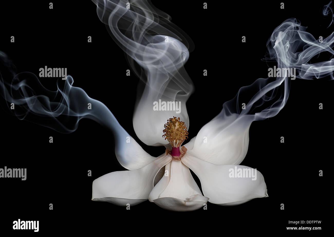Smokin' Magnolia - Stock Image