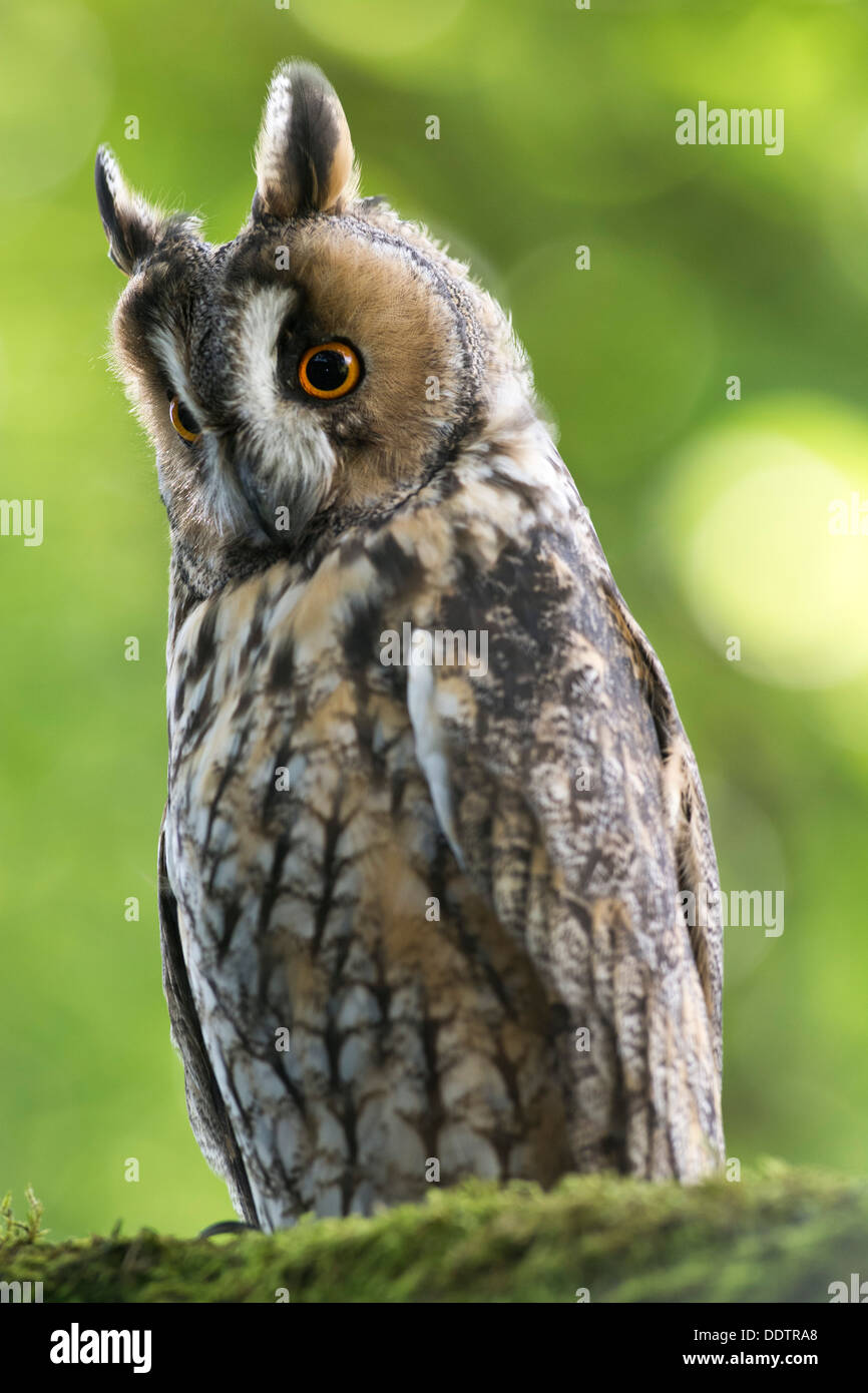 Long Eared Owl, Asio otus, at roost in woodland. Captive. - Stock Image
