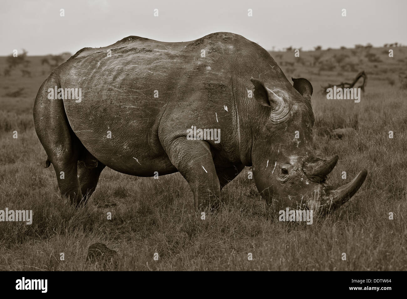 activity, African, action, Lewa Downs, Kenya, Africa - Stock Image