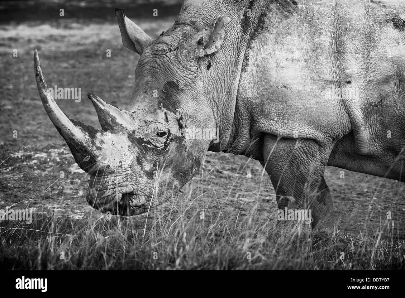 Single white rhino grazing: detail of head and front, side view in monochrome, Lake Nakuru, Kenya Stock Photo