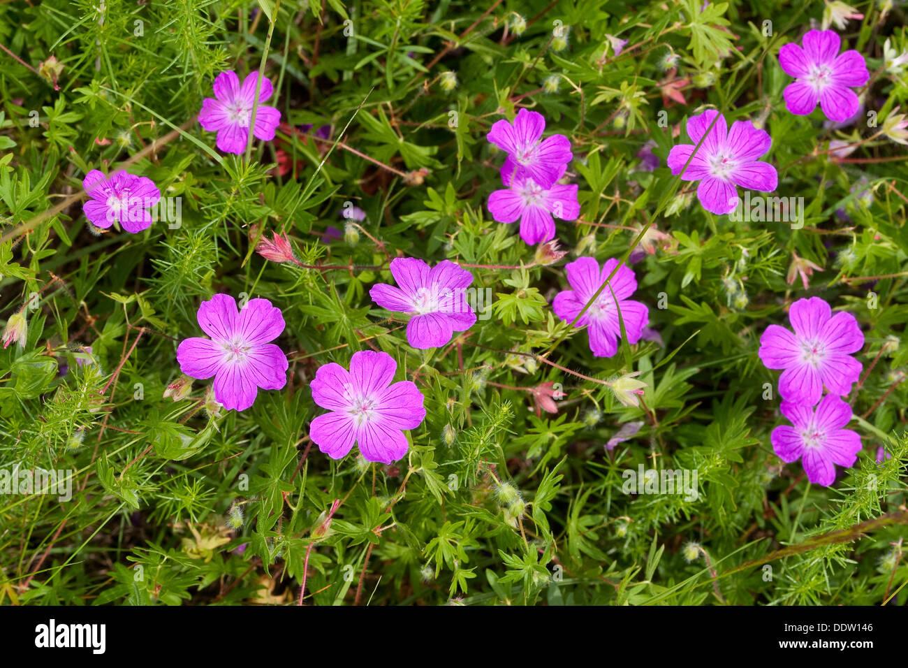 Bloody Cranesbill, bloody geranium, Blutroter-Storchschnabel, Blut-Storchschnabel, Blutroter Storchschnabel, Geranium sanguineum - Stock Image