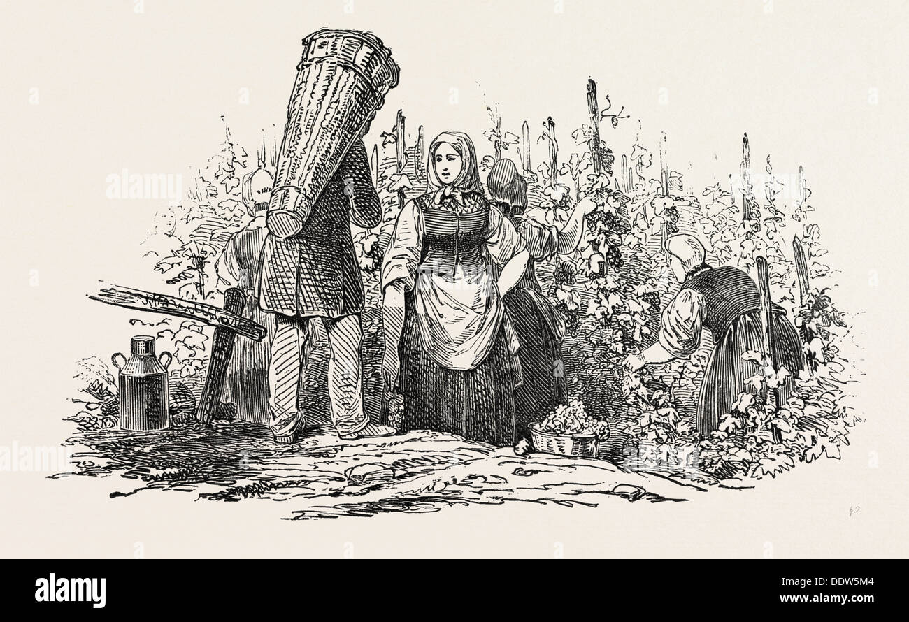 THE LIEBFRAU VINTAGE, GATHERING GRAPES - Stock Image