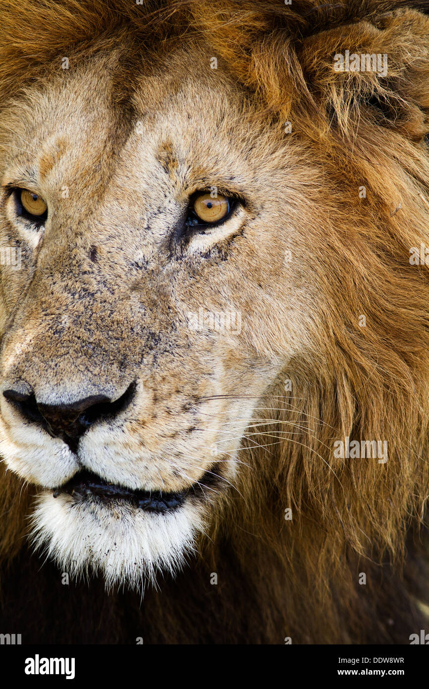 Magnificent adult lion close up front -side view detail of face ...