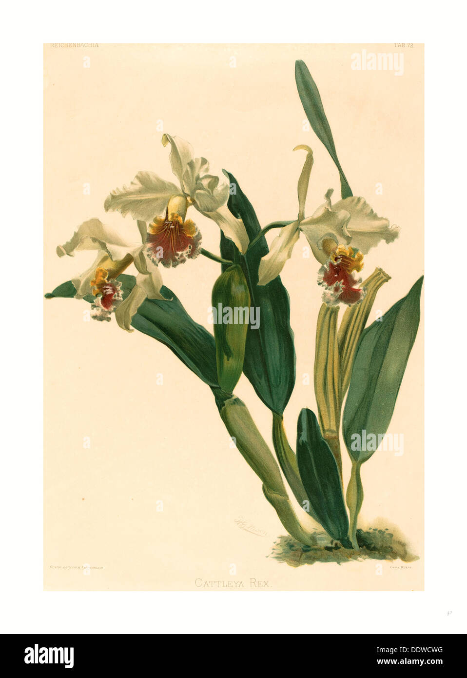 Gustav Leutzsch after Henry George Moon (German (?), active 19th century ), Cattleya Rex, lithograph - Stock Image