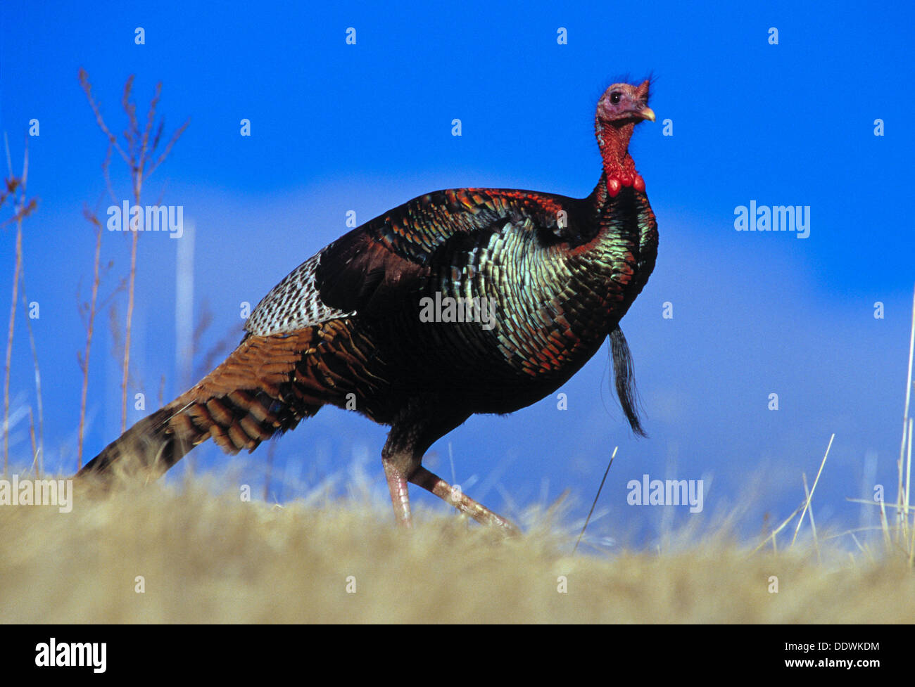 Male (Tom) turkey in the Cecil D. Andrus Wildlife Management Area Idaho USA - Stock Image
